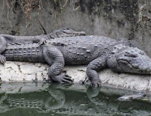 Krokodilski vici
