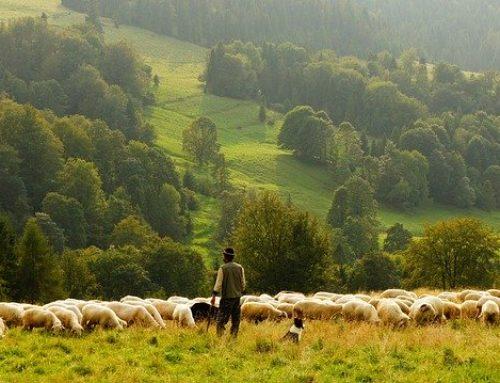 Japi in pastir